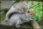 Grey Squirrel 1