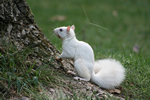 White Squirrel 3