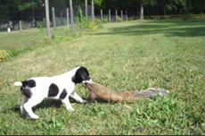 Training A Squirrel Dog
