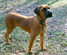 Black Mouth Cur