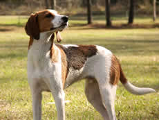Walker Coonhound